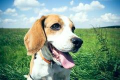 Beagle en un prado Imagenes de archivo
