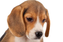 Beagle face Stock Image