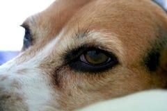Beagle Face. Sleepy beagle with big eyes portrait, cropped Royalty Free Stock Images
