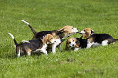 Beagle familiy playing Stock Photography
