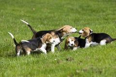 Beagle familiy playing stock photography