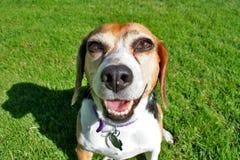 Beagle feliz   foto de archivo libre de regalías