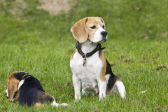 Beagle female with her puppy Royalty Free Stock Photos