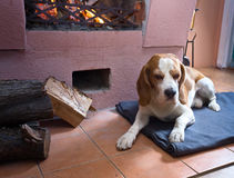Beagle on the floor near the old fireplace . stock image