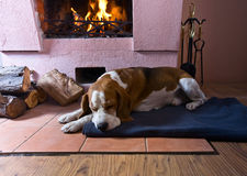 Beagle on the floor near the old fireplace . Beagle is resting on the floor near the old fireplace . Fireplace with burning wood royalty free stock image