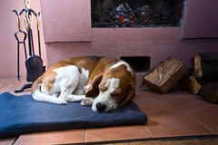 Beagle on the floor near the old fireplace . Beagle is resting on the floor near the old fireplace . Fireplace with burning wood stock photos