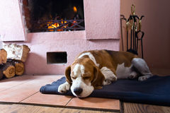 Beagle on the floor near the old fireplace . royalty free stock images