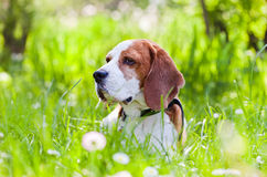 Beagle in forest Royalty Free Stock Photography