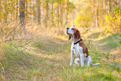 Beagle in forest Stock Image