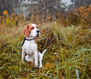 Beagle in forest Royalty Free Stock Image