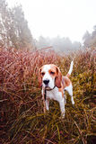 Beagle in forest Royalty Free Stock Images