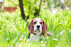 Beagle in forest Stock Photography