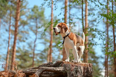 Beagle in forest Stock Photos