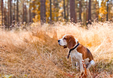 Beagle in forest Stock Images