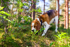 Beagle in forest Royalty Free Stock Photos