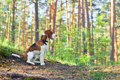 Beagle in forest Royalty Free Stock Photo