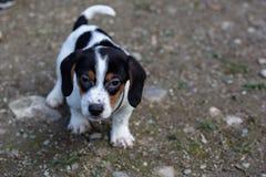 beagle formata wysokiego wizerunku wysoka szczeniaka ilość był surowy postanowienie strzelam strzelającym unsharpen Obrazy Stock