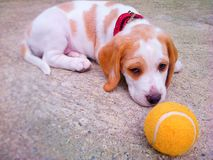beagle formata wysokiego wizerunku wysoka szczeniaka ilość był surowy postanowienie strzelam strzelającym unsharpen Obrazy Royalty Free