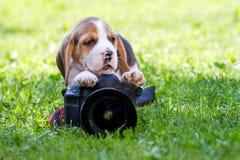 beagle formata wysokiego wizerunku wysoka szczeniaka ilość był surowy postanowienie strzelam strzelającym unsharpen fotografia royalty free