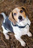 Beagle Foxhound Dog. Beagle rabbit hunting hound dog, outdoor pet photography, humane society adoption photo, Walton County Animal Shelter, Georgia Stock Photos