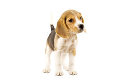 Beagle in front of white background royalty free stock photography