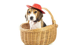 Beagle fun Stock Photography