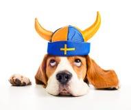 Beagle głowa Fotografia Stock