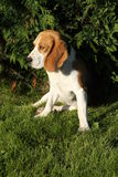 Beagle in the garden Stock Image