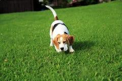 Beagle in the garden Stock Image
