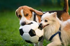 Beagle and german spitz klein playing together and running in green park garden outdoors in summer stock photo