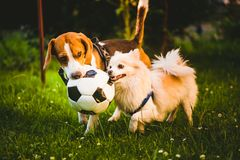 Beagle and german spitz klein playing together with football ball and running in green park garden. Beagle and german spitz klein tug of war with football ball stock photos