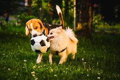 Beagle and german spitz klein playing together with football ball and running in green park garden. Beagle and german spitz klein tug of war with football ball stock photography