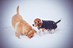 Beagle Golden Retriever in the snow january february winter fun cold royalty free stock photo