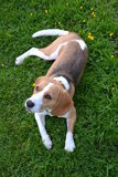 Beagle in grass Royalty Free Stock Image