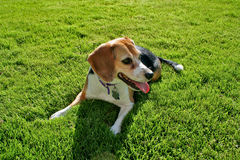 Beagle on grass Royalty Free Stock Photo