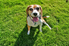Beagle on grass. A content middle aged female beagle enjoying a day in the park Stock Photos