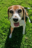 Beagle on grass. A content middle aged female beagle enjoying a day in the park Stock Photo