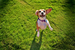 Beagle on grass. A content middle aged female beagle enjoying a day in the park Royalty Free Stock Photo