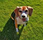 Beagle on grass. A content middle aged female beagle enjoying a day in the park Royalty Free Stock Photography
