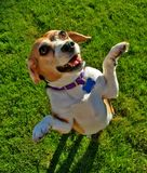 Beagle on grass. A content middle aged female beagle enjoying a day in the park Royalty Free Stock Images
