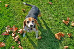 Beagle on grass Stock Photos