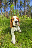 Beagle on a grass in forest Royalty Free Stock Photos