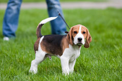 Beagle on green grass Stock Photography