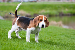 Beagle on green grass Royalty Free Stock Photos