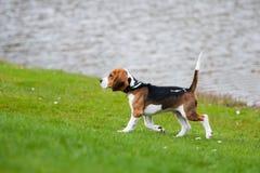Beagle on green grass Stock Photo