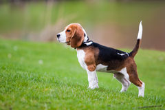 Beagle on green grass Stock Image