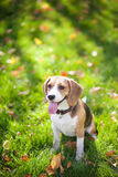Beagle in green grass Stock Image