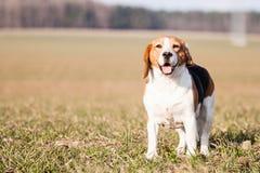 Beagle Stock Photography
