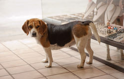 Beagle guard Stock Image