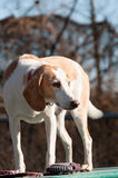Beagle harrier puppy Stock Photo